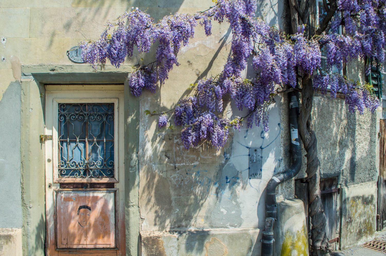 Wisteria draped over an old door in Lucerne, Switzerland