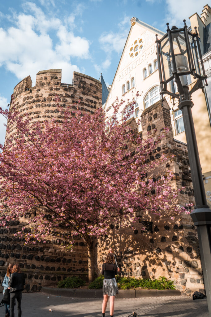 Pink cherry blossom blooming in front of Sterntor in Bonn, Germany