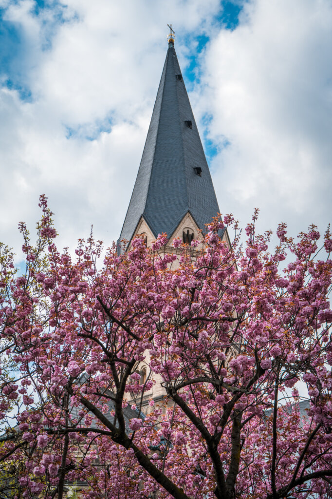 Cherry blossom tree blooming in front of a church in Bonn, Germany