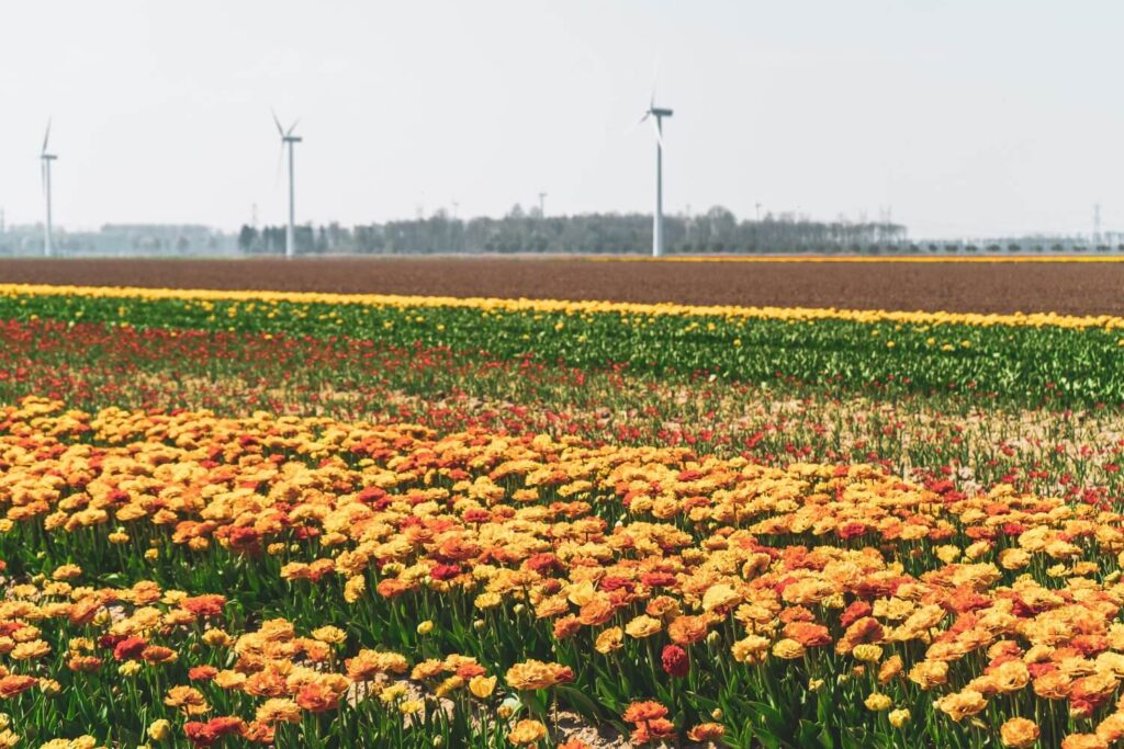 How to visit the famous tulip fields of the Netherlands for FREE! This amazing guide will tell you all the best spots to find tulips away from the tourist crowds, all for free. #Tulips #Netherlands #Europe #Travel