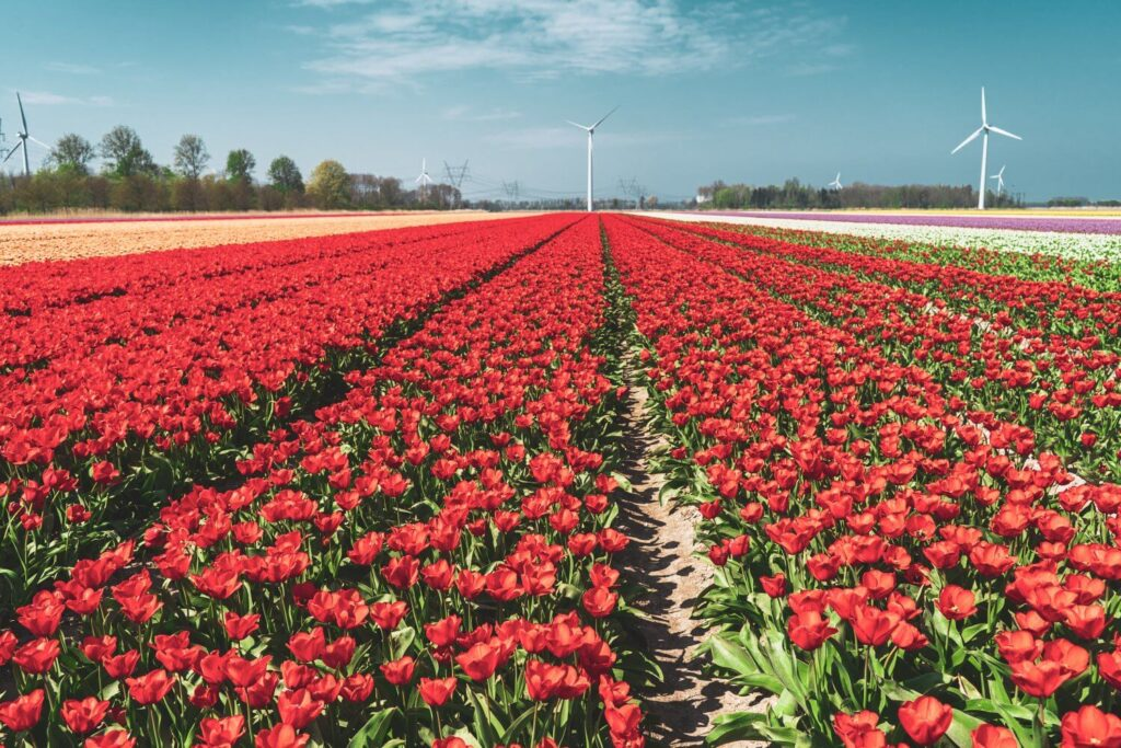Beautiful free tulip fields in the Netherlands along the Flevoland Tulip Route in the Netherlands
