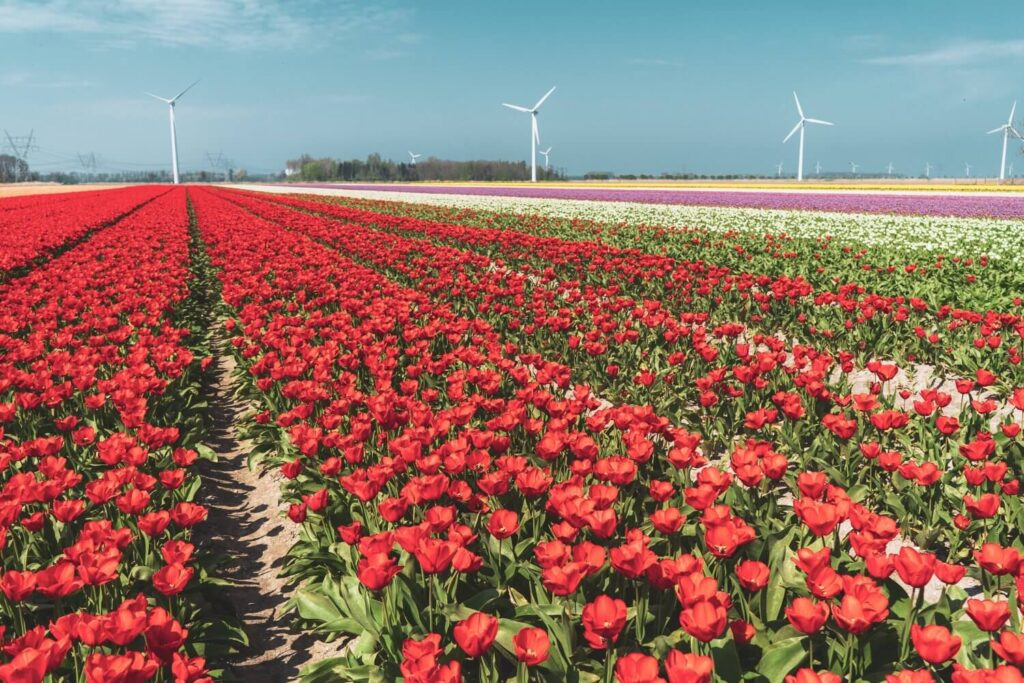 A free tulip field along the Flevoland Tulip Route in the Netherlands