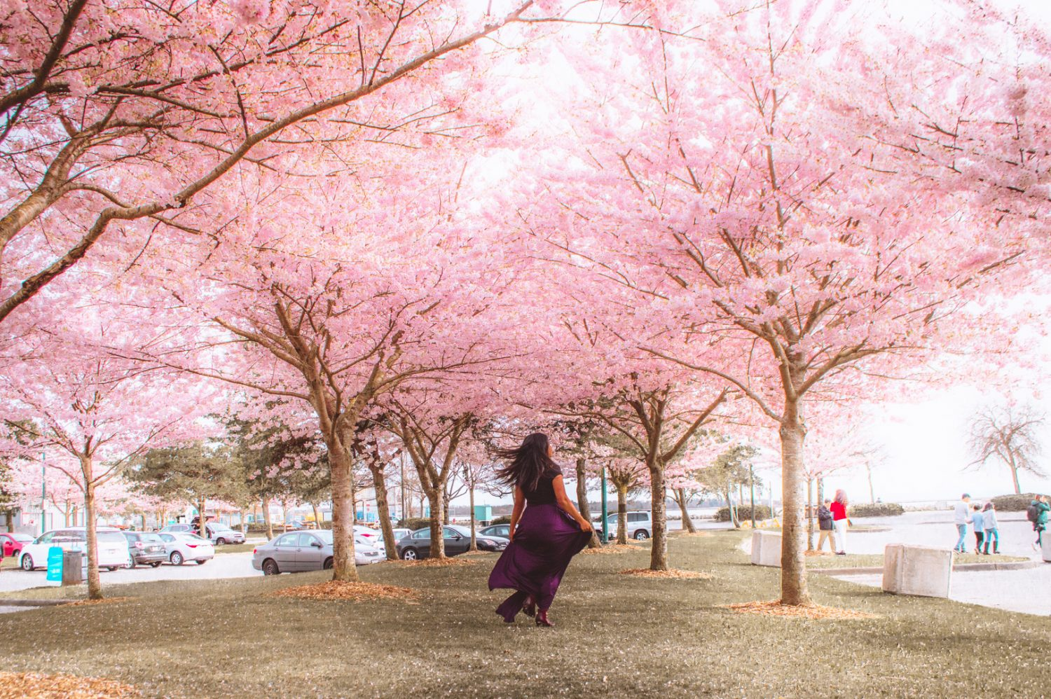 An epic guide on the most gorgeous places to photograph cherry blossoms in Vancouver this year! #Vancouver #CherryBlossoms #Canada #Travel