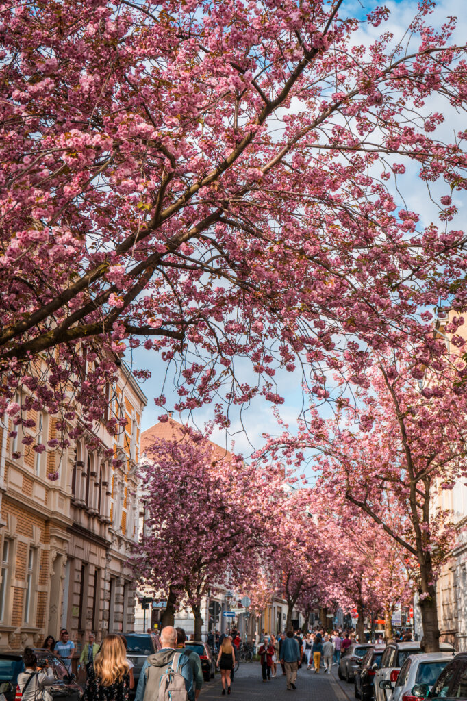 Cherry blossoms with crowds admiring them in Bonn, Germany