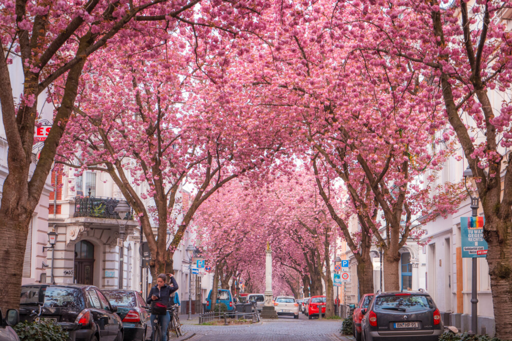 Cherry blossom trees on Heerstrasse in Bonn, Germany