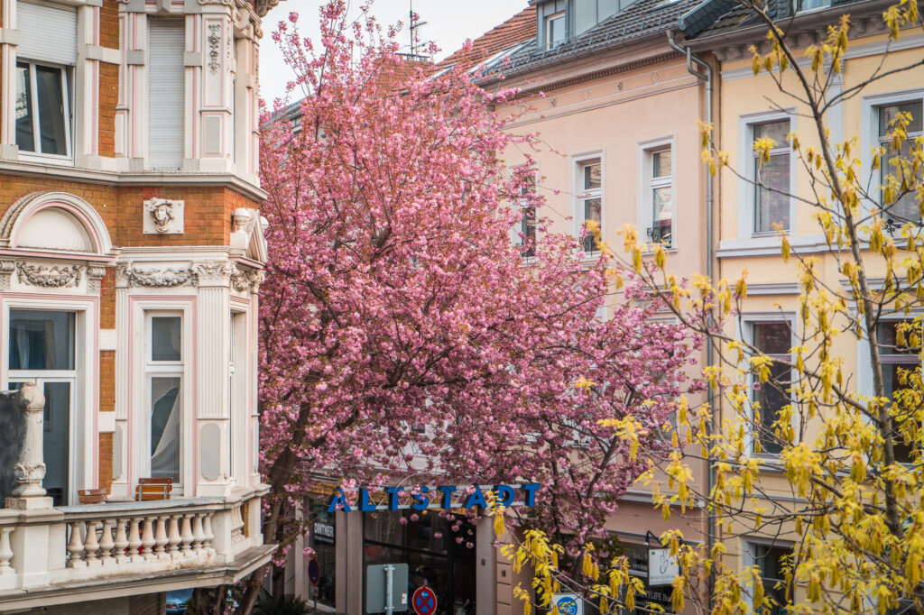 Cherry blossom trees lining a street in Bonn, Germany with buildings surrounding them