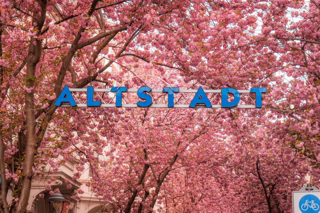 Altstadt sign covered by cherry blossoms in Bonn, Germany