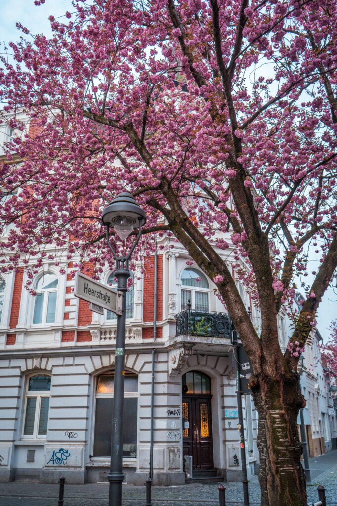 A cherry blossom tree in front of an old building in Bonn, Germany