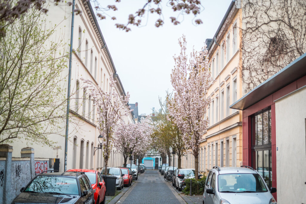 Cherry blossom trees on a street in Bonn, Germany