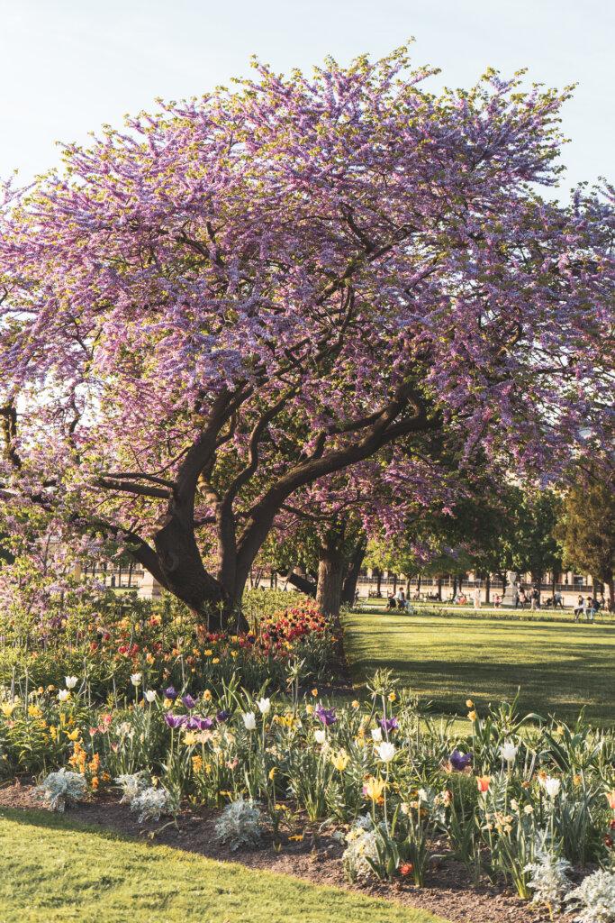 Trees in bloom in Jardins des Tuileries in Paris, France
