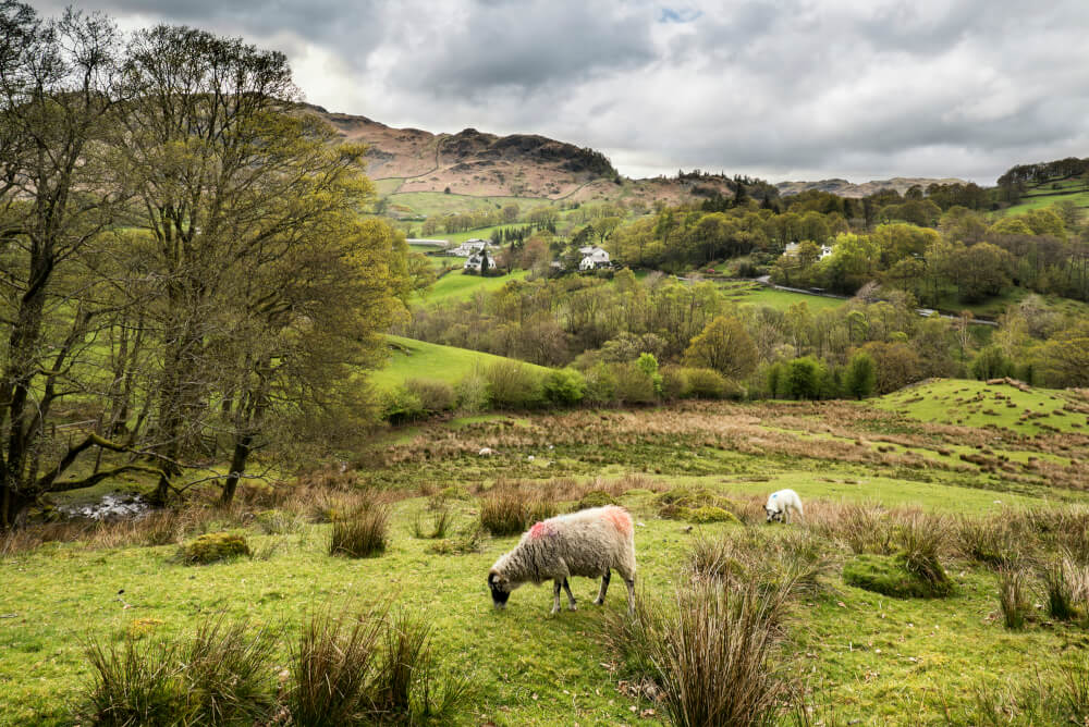 Beautiful green hills with sheep in the Lake District, England.