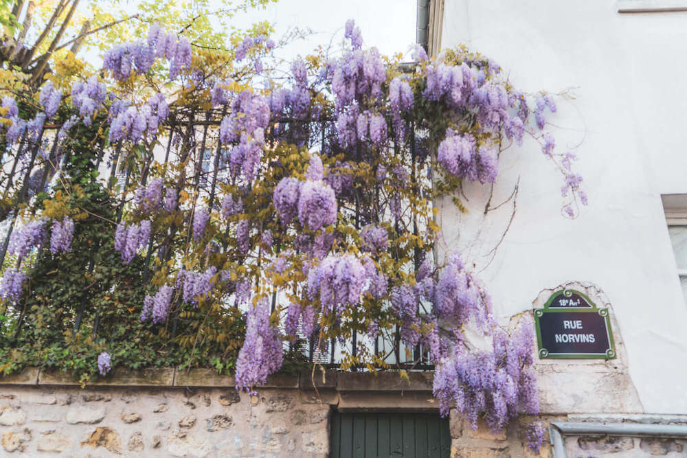 Wisteria in Montmartre, Paris