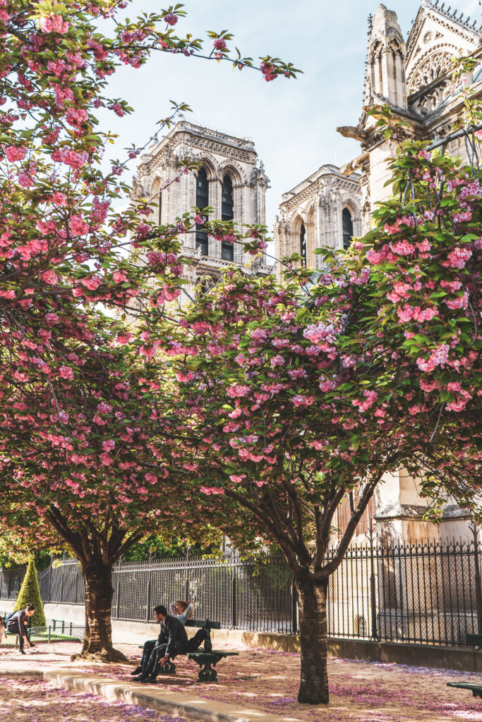 Cherry blossom trees in front of the Notre Dame Cathedral in Paris