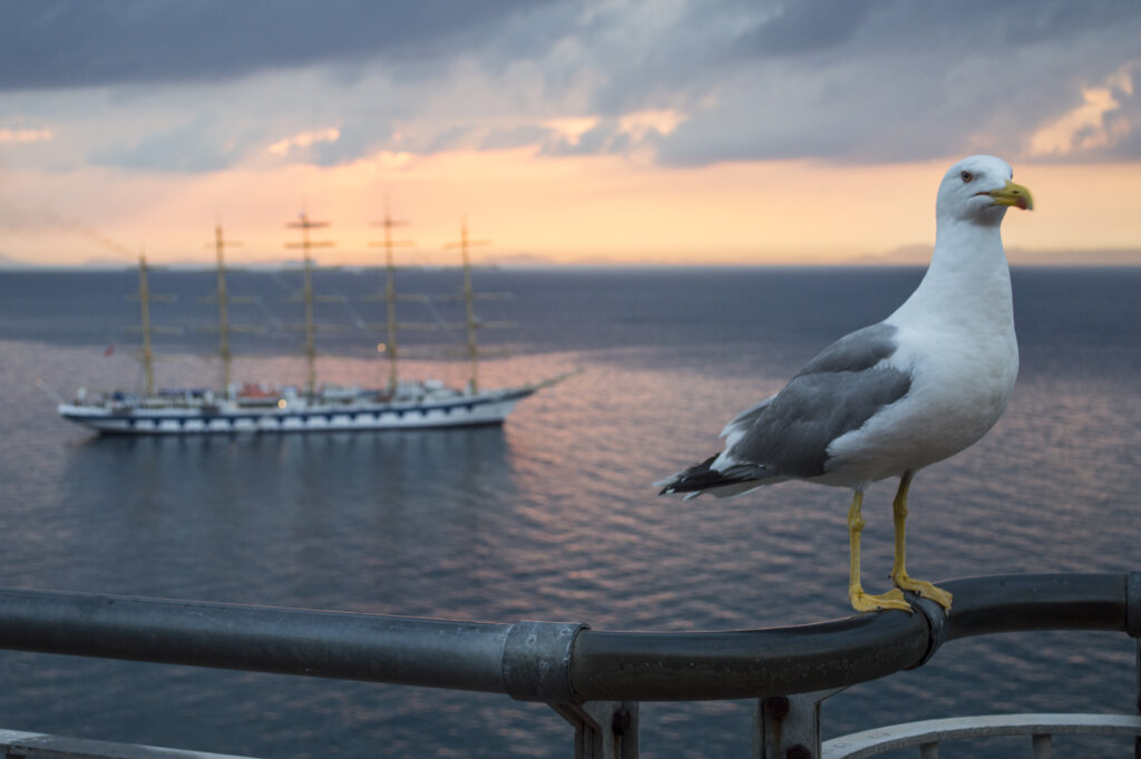 Seagull on a ledge in Sorrento at sunet