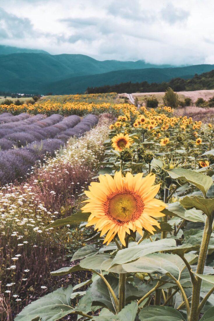 Incredible lavender and sunflower fields in Bulgaria near Buzludzha