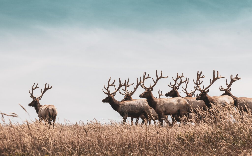 A group of deer in a golden field.