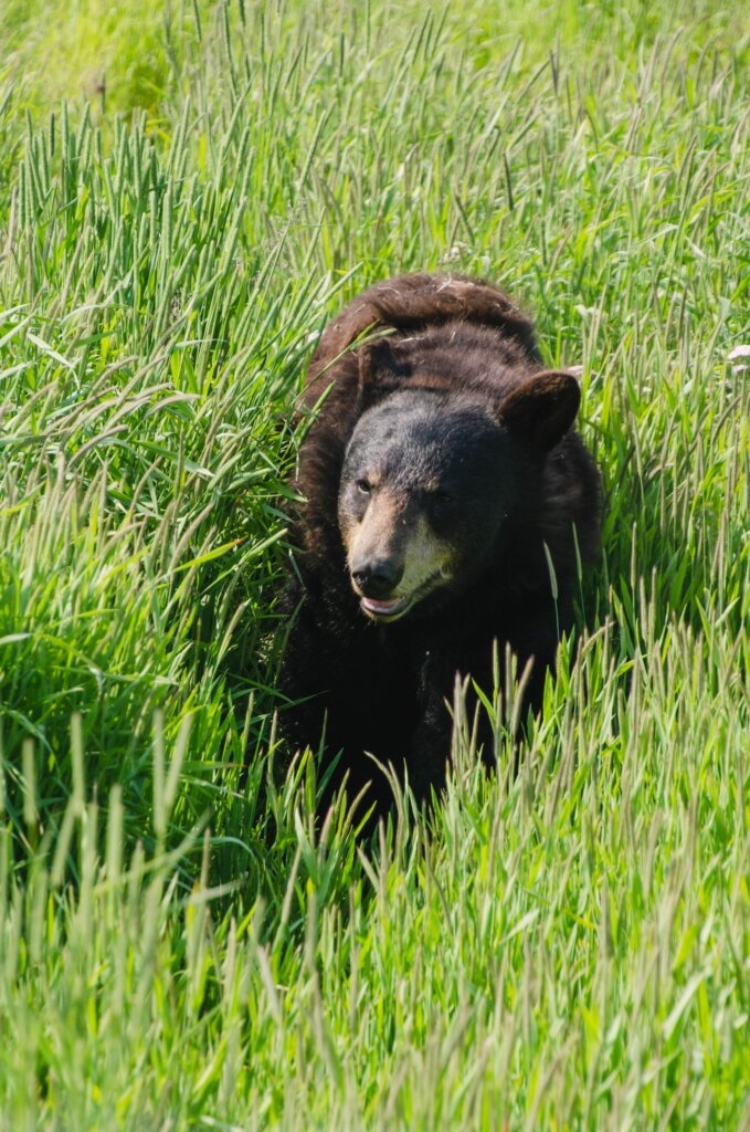 A grizzly bear walking through tall grass on a sunny day with what could be interpreted as a smile.