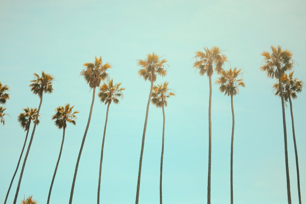 A line of palm trees on a sunny California day.