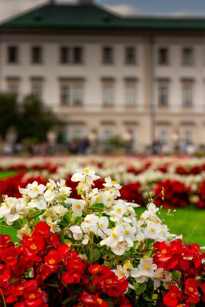 Close-up flowers in bloom in the Mirabell Gardens in Salzburg, Austria
