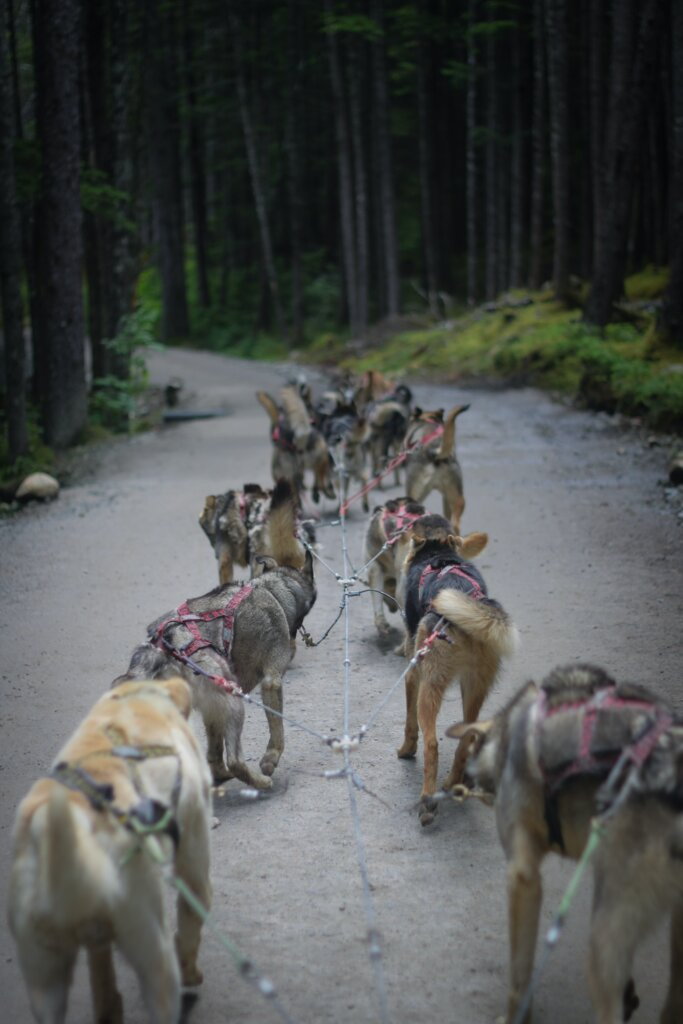 Two ranks of of dogs pulling a sled on a road through a forest.