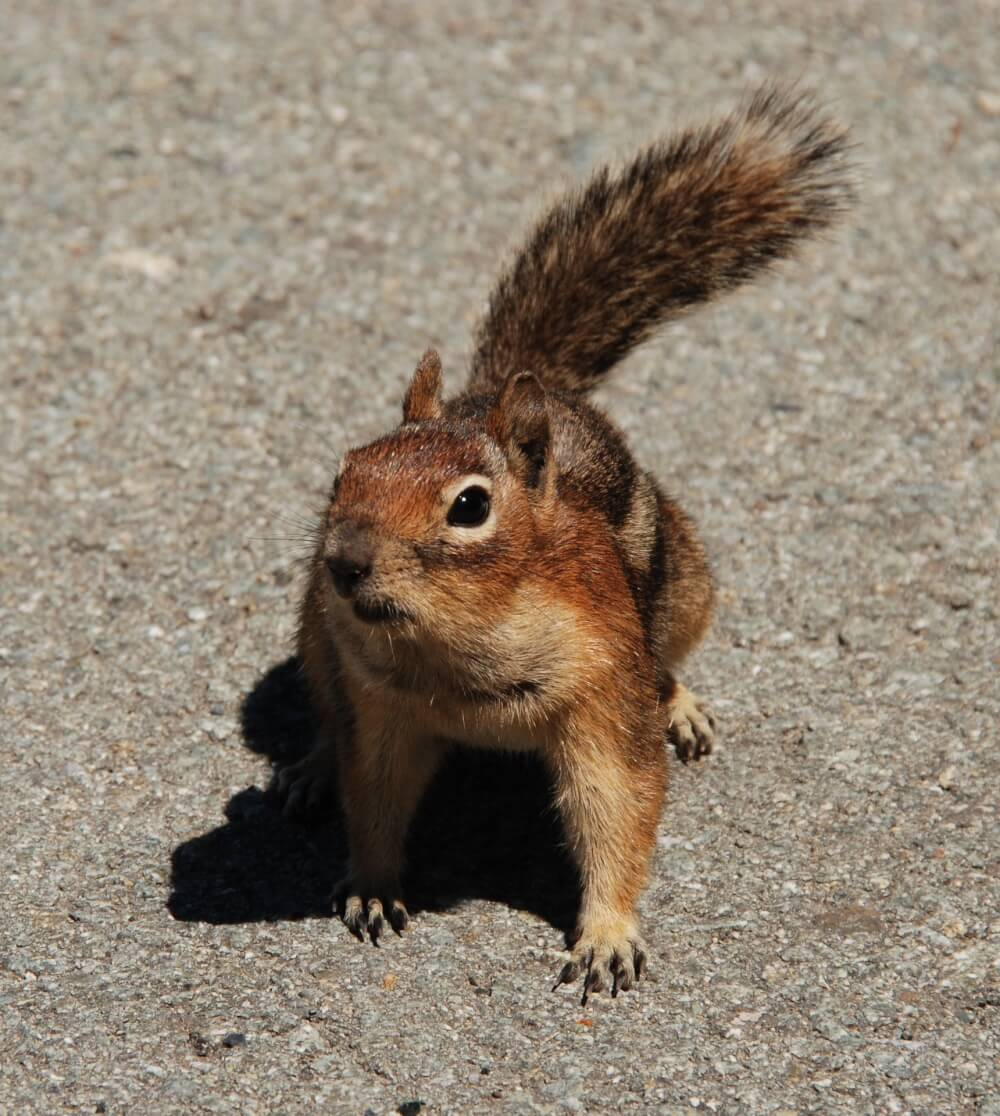 A squirrel standing on pavement, looking for a safe way to cross a busy street!
