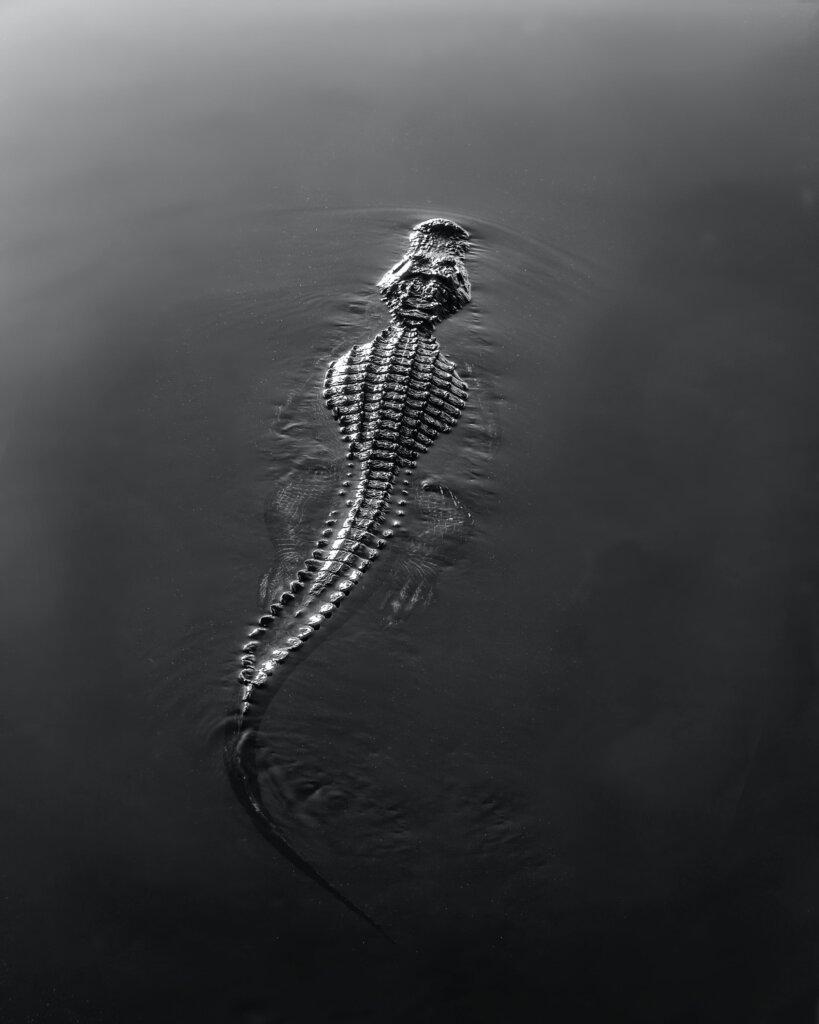 An alligator swimming, half-submerged.